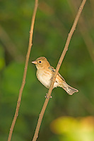 Female Indigo Bunting in Texas