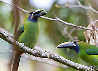 A toucanet feeds on an avocado brought by its mate.