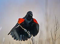 Red-winged Black Bird, singing.  Fortesque, Jersey