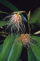 Bulbophyllum medusae aka Cirrhopetalum medusae, bizarre orchid species, fly pollinated, hinged lip, long tails for landing platforms. Named for the Gorgon Medusa