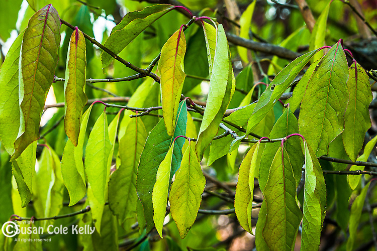 Autumn leaves at the Arnold Arboretum in the Jamaica Plain neighborhood, Boston, Massachusetts, USA