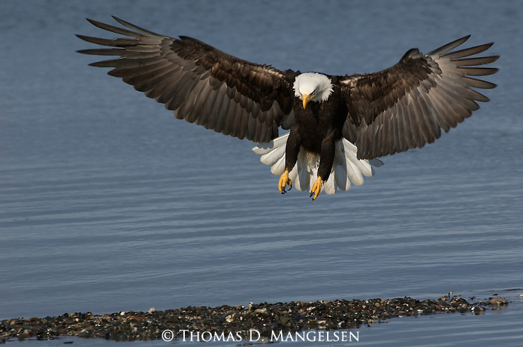 A close up of a bald eagle fishing at Kachemak Bay in Homer, Alaska.