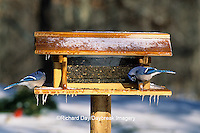 01288-01308 Blue Jays (Cyanocitta cristata) at feeder in winter Marion Co.  IL