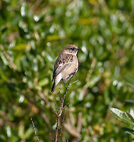 Caspian Stonechat - Saxicola maurus variegatus