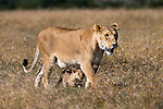 Lioness (Panthera leo) walking with small cub, Ol Pejeta conservancy, Laikipia, Kenya, Africa, September 2012