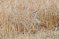 Sandhill crane (Grus canadensis) walking though marsh reeds.  Western U.S., spring.