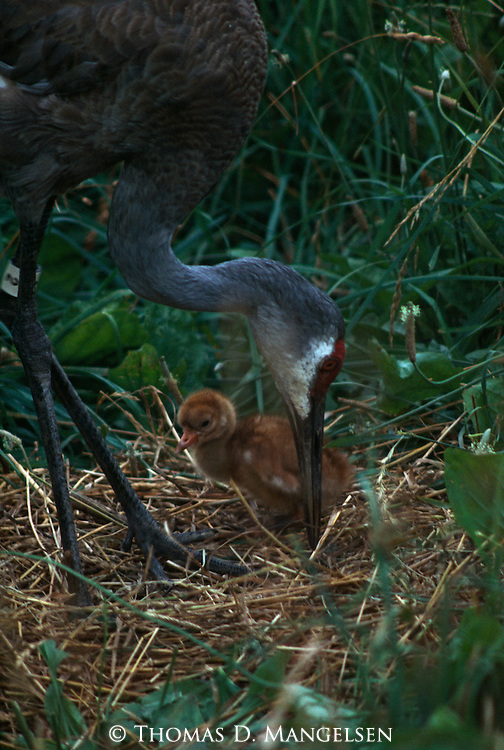 Whooping crane chick hatched by sandhill crane in Patuvent, Maryland