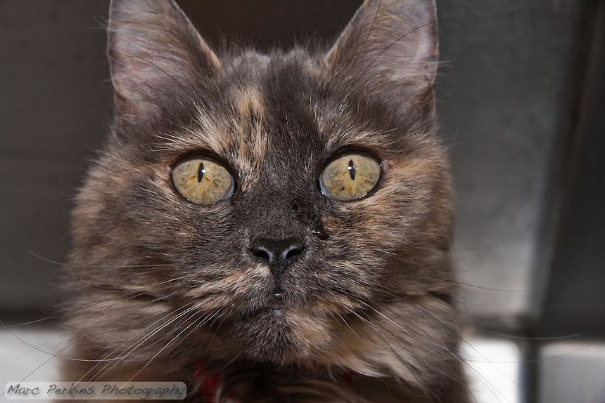 Ruby, a female charcoal domestic shorthair cat.  6972.