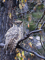 A wet great horned owl found one morning in the Tetons.