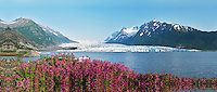 Fireweed blooms on a summer evening with Spencer Glacier and Spencer Lake in the background.