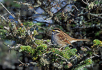 Boreal Forest. White-throated sparrow (Zonotrichia albicollis) on balsam fir covered in lichen. .Gros Morne National Park, Newfoundland. Canada.