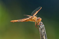 389310014 a wild female flame skimmer libellula saturata perches on a dead twig in fish slough mono county callifornia