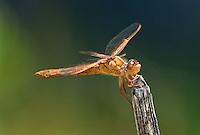 389310014 a wild female flame skimmer libellula saturata perches on a dead twig in fish slough mono county callifornia