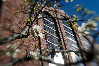 Japanese magnolia at Chapel.<br />  (photo by Megan Bean / &copy; Mississippi State University)