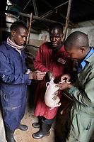 KENYA Limuru, Tigoni, animal husbandry, pig breeding, veterinary service, vaccination for a piglet