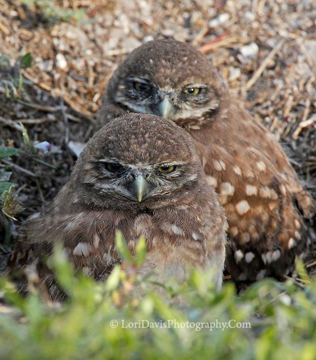 Sleepy burrowing owl siblings