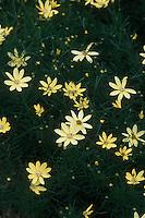 Coreopsis verticillata 'Moonbeam' Tickseed perennial flowers for sunny spots