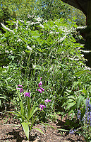 Hardy orchid Bletilla striata growing in garden setting with Dicentra spectabilis alba aka Lamprocapnos spectabilis 'Alba', Nepeta