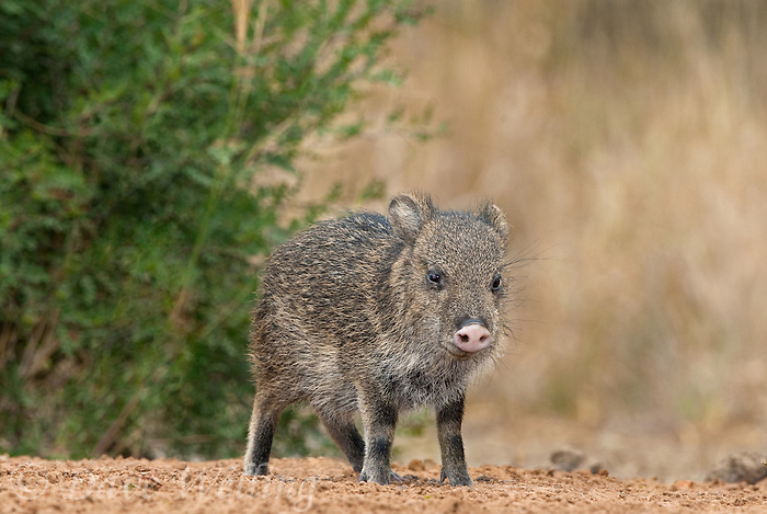 650520176 a baby javelina or collared peccary dicolytes tajacu on beto gutierrez ranch hidalgo county texas united states