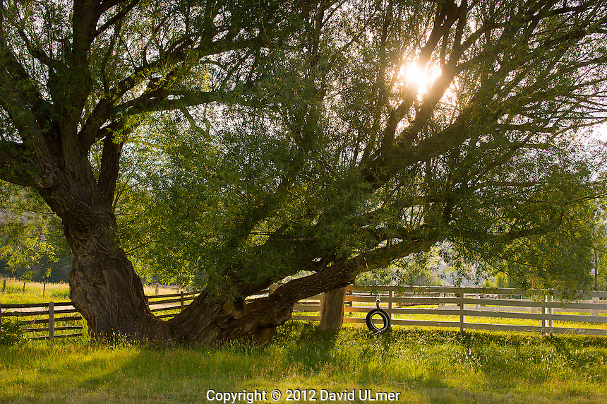 Sunlight bursts through a willow tree with a tire swing hanging from its branches.