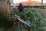 KENYA Thika near Nairobi, Simbi Roses is a fair trade rose flower farm which produces rose as cutting flowers for export to europe, biogas plant / KENIA Thika bei Nairobi, Simbi Roses ist eine fairtrade zertifizierte Blumenfarm die Rosen fuer den Export nach Europa anbauen, Blumenreste werden fuer die Biogasanlage gehechselt