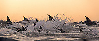 silhouette, dorsal fins of long beaked common dolphins, Delphinus capensis, leaping, South Africa
