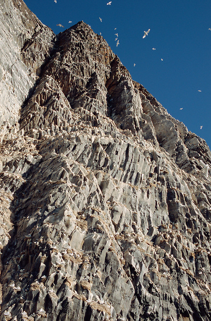 Kittiwakes on Rubini Rock bird cliffs. Hooker Island, Franz Josef Land