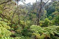 tree fern and ohia lehua forest at Thurston Lava Tube or Nahuku, Hawaii Volcanoes National Park, Kilauea, Big Island, Hawaii, USA