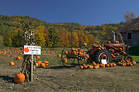 A self-picking pumpkin patch and field surrounded by fall foliage in Autumn near Orwell, Vermont