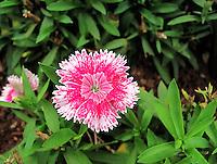 Beautiful Sweet William plant