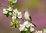 Tufted Titmouse (Baeolophus bicolor), perched amid apple blossom in spring, Freeville, New York, USA.