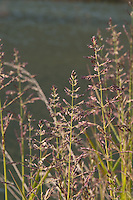 Grasses bloom at the edge of Spencer Lake and seem to glow in the evening light.