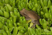 0811-0910  Spring Peeper Frog on Green Sedum, Pseudacris crucifer (formerly: Hyla crucifer)  © David Kuhn/Dwight Kuhn Photography