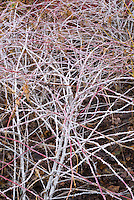 Rubus cockburnianus Goldenvale in white winter stems