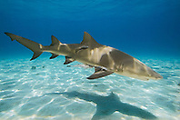 Lemon Shark, Negaprion brevirostris, with sharksuckers, Echeneis naucrates, West End, Grand Bahama, Bahamas, Atlantic Ocean.