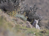 Foxes are seen occasionally in and around Torres del Paine.