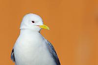 Kittiwake gulls, Rissa tridactyla, breeding on house wall, Vardø town, Varanger Peninsula, Norway, Scandinavia