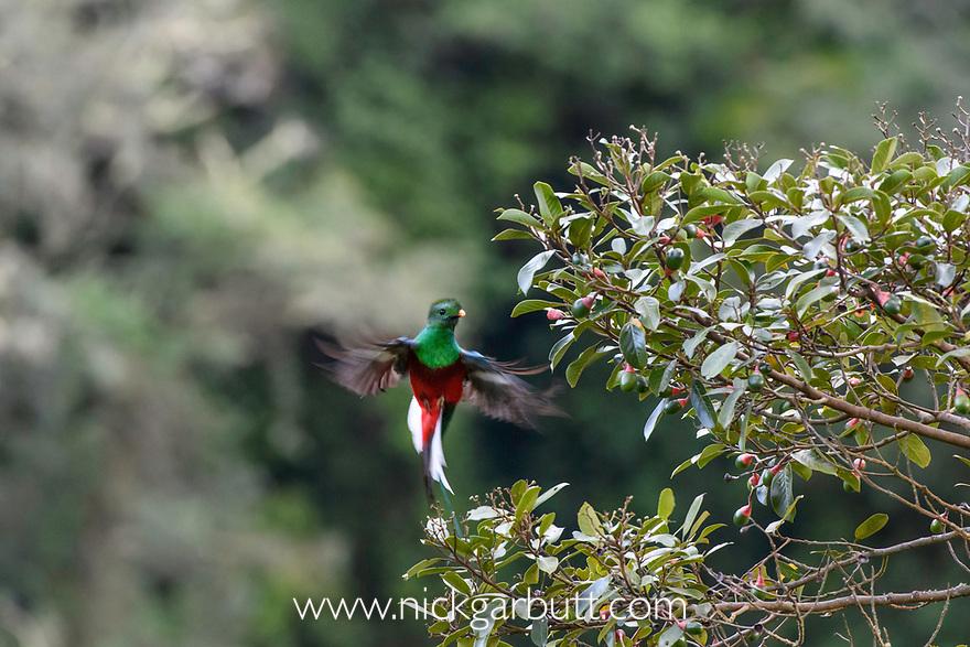 Male Resplendent Quetzal (Pharomachrus mocinno) flying into a wild avocado tree (Persea americana) in cloud forest. Los Quetzales National Park, Savegre River Valley, Talamanca Range, Costa Rica, Central America.