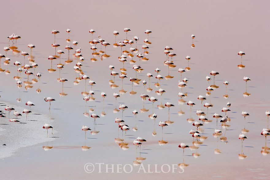 Bolivia, Altiplano, James' flamingos (Phoenicoparrus jamesi) in Laguna Colorada