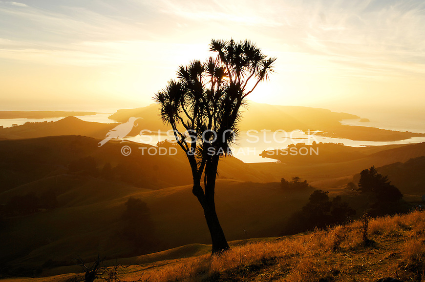 A cabbage tree is silhouetted at sunrise looking towards Harbour Cone, Hoopers Inlet and Taiaroa Head, Otago Peninsula, South Island, New Zealand - stock photo, canvas, fine art print