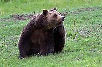 Yellowstone is Grizzly country. However, even the Grizzly bear (Ursus arctos horribilis) has to scratch when it itches!