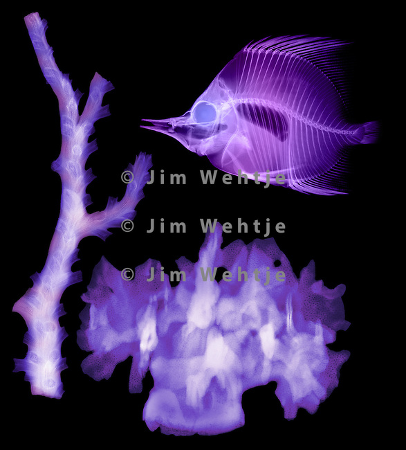 X-ray image of fish and corals (purple on black) by Jim Wehtje, specialist in x-ray art and design images.