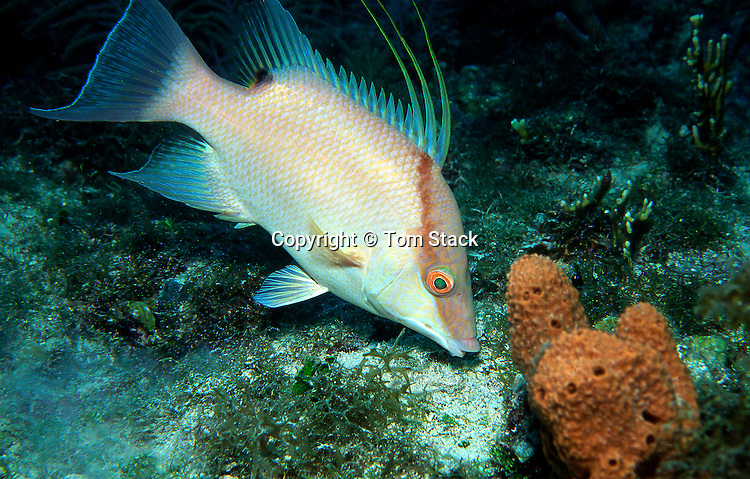 Hogfish, Florida Keys, Lachnolaimus maximus