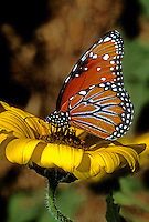 379900006 a wild queen butterfly danus glippus on feeding on yellow flower in south texas.