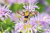 04005-00417 Snowberry Clearwing (Hemaris diffinis) on Wild Bergamot (Monarda fistulosa) Marion Co. IL