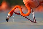 American Flamingo (Phoenicopterus ruber) scratching. Yucatan, Mexico.