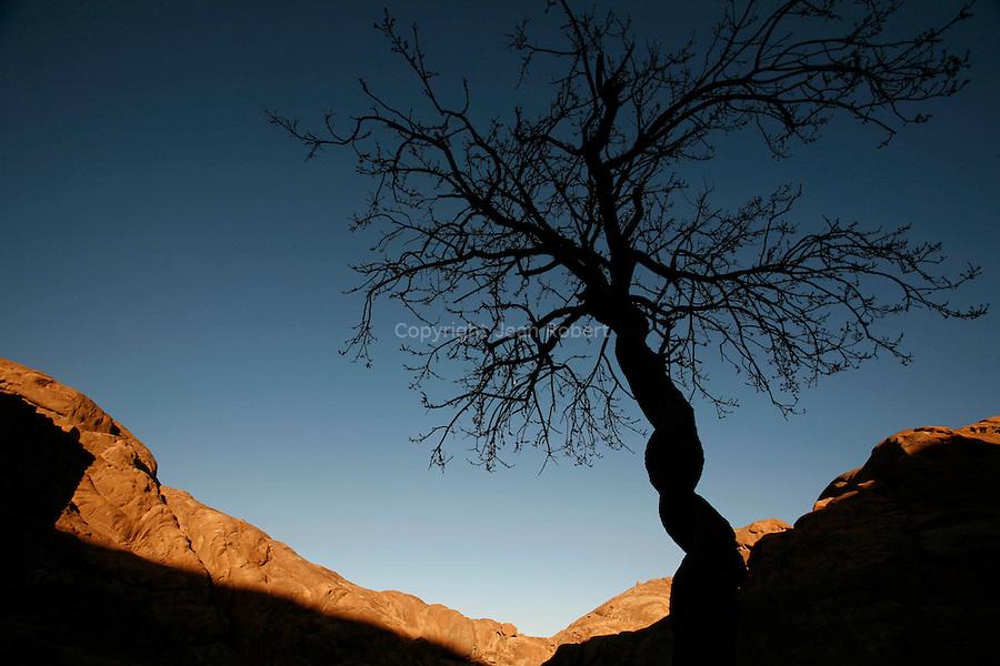 Acacia au tornc noueux en contrejour au pied du Mont Moise