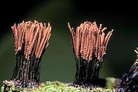 SD13-027x  Slime Mold - fruiting  bodies - Stemonitis spp. - 3x