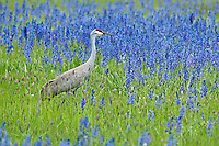 Sandhill Crane in camas flowers, Oregon