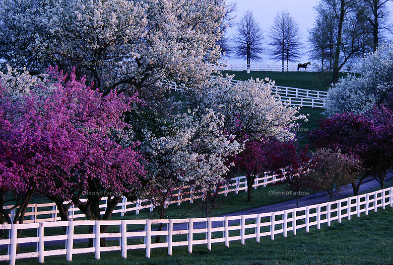 Kentucky thoroughbred horse farms are like a Hollywood set groomed to perfection in early spring when trees are flowering.  White fences line a roadway to the stallion paddock.